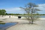 Cattle watering hole in the dry savanna of northern Namibia